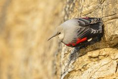 Wallcreeper Stock Photos