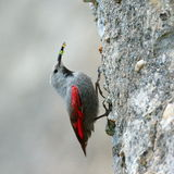 The Wallcreeper (Tichodroma muraria) outdoor Royalty Free Stock Photography