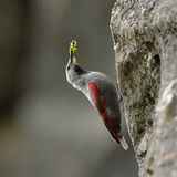 The Wallcreeper (Tichodroma muraria) outdoor Stock Photos