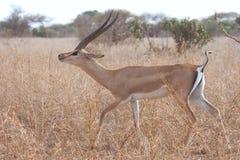 walleri litocranius gerenuk стоковые фотографии rf