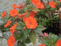 Walleriana ou lizzie ou baume occupé sultanine ou Impatiens ou Contact-moi-non d'Impatiens fleur image stock