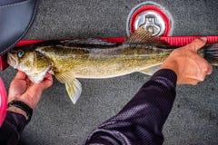 Walleye łowi w Mille Lacs jeziora, Minnestoa fotografia royalty free