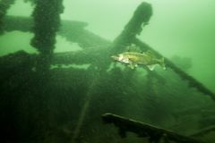Walleye υποβρύχια στον ποταμό του ST Lawrence στον Καναδά στοκ εικόνα με δικαίωμα ελεύθερης χρήσης