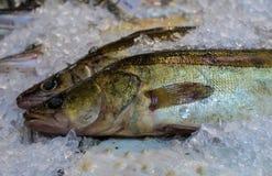 2 walleye на дисплее под пальто льда Стоковые Изображения RF
