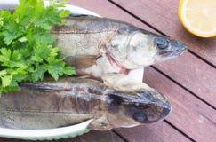 2 walleye на таблице Стоковые Изображения
