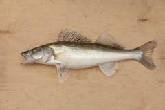Walleye с открытым ртом Стоковая Фотография RF