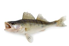 Walleye Royalty Free Stock Photography