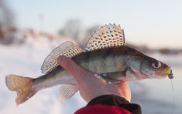 Walleye Stock Images