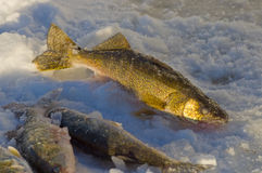 walleye royaltyfria foton