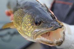 Fishing. Walleye in the angler`s hands. Walleye in the angler`s hands. Ð¡lose-up. Boat on the lake stock photos