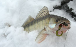 Walleye caught on drop-shot rig Royalty Free Stock Photography