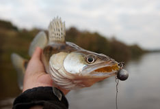 Walleye caught on handmade jig lure, close-up Stock Images