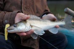 Walleye caught on handmade jig lure Stock Image