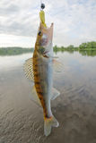 Walleye caught on spinning bait. Walleye caught on traditional Russian jig lure - porolonka (foam fish Stock Photo