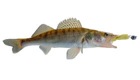 Walleye caught on spinning bait, clipping path. Walleye caught on traditional Russian jig lure - porolonka (foam fish Stock Photo