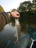 Walleye caught in sunny autumn morning. Model was released Royalty Free Stock Images