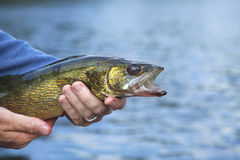 Walleye close up held by a fisherman Stock Image