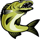 Walleye fish jumping