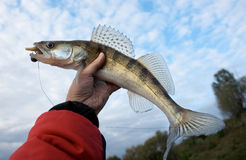 Walleye in fisherman's hand against cloudy sky Stock Photo