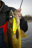 Walleye Fishing Crankbait Stock Image
