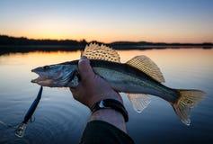 Walleye fishing at sunset Royalty Free Stock Photo