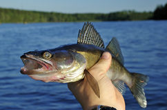 Walleye in hand Royalty Free Stock Photography