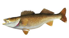 Walleye Isolated Stock Photography
