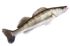 Walleye isolated with clipping path Stock Image
