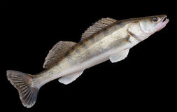 Walleye lying on concrete floor, isolated with clipping path Stock Image
