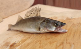 Walleye with open mouth Stock Photos