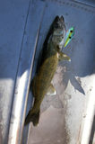 Walleye pike alive in bottom of boat Stock Photos