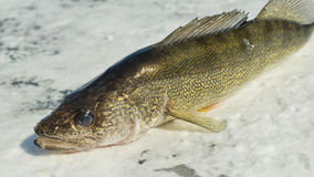 Walleye. Pike caught ice fishing in Minnesota Royalty Free Stock Image
