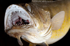 Walleye Pike Gamefish Ready To Strike. Walleye Pike game fish ready to strike.  The fish's mouth is open showing multiple rows of teeth Stock Image
