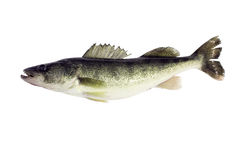 Walleye (Sitzostedion Viterum) isolated Royalty Free Stock Photo