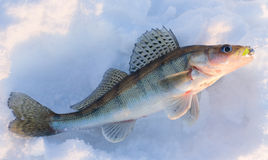 Walleye on snow royalty free stock image