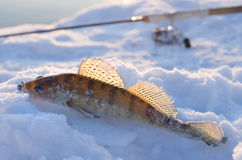 Walleye on snow Stock Photo