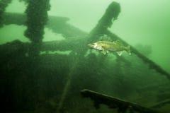 Walleye som är undervattens- i Sten Lawrence River i Kanada royaltyfri bild