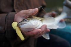 Walleye som fångas på handgjort pimpeldrag Royaltyfria Bilder