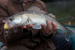 Walleye som fångas på handgjort pimpeldrag Arkivfoto