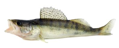 Walleye or Zander Stock Photos