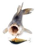 Walleye zander. Isolated on white background Royalty Free Stock Image