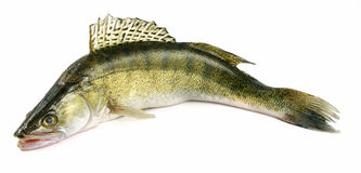 Walleye zander fish Stock Photos
