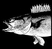 Walleye Zander fish head on black background Stock Photos