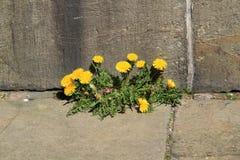 wallflower Royaltyfri Foto
