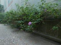 wallflower Obrazy Stock