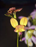 Wallflower Diuris Orchid Stock Images