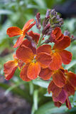 Wallflower (Erysimum cheiri) Royalty Free Stock Photos