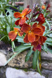 Wallflower (Erysimum cheiri) Royalty Free Stock Images