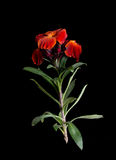 Wallflower - perfumed cottage garden style flower over black - sp Royalty Free Stock Images