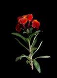 Wallflower - wypachniony chałupa ogródu stylu kwiat nad czernią - sp obrazy royalty free